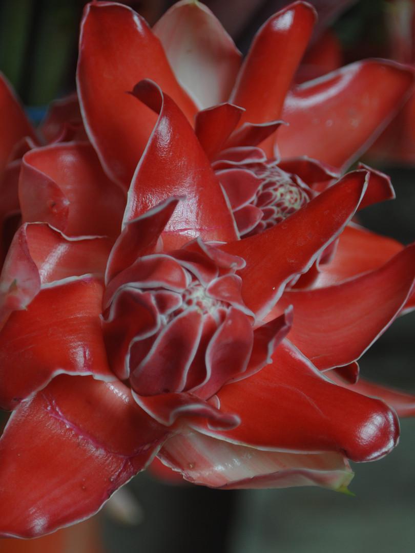 Red Hawiaan Torch