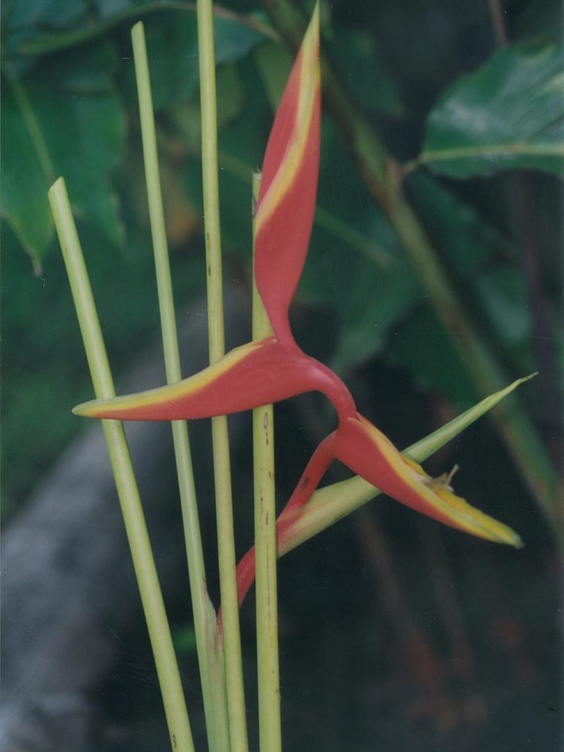 Scarlet Ibis or Red Twist