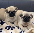 Pug Pups.jpg