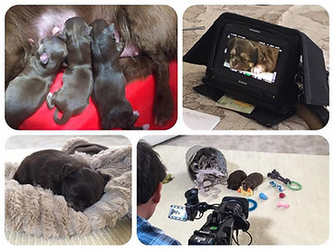 #PuppySecrets #SayenchiChihuahuas #ITV