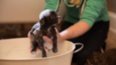 Sayenchi Chihuahuas ITV's Puppy Secrets: The first 6 months! #SayenchiChihuahuas #PuppySecrets #ITV