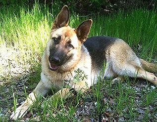 German Shepherd For Sale United States Canaanland German Shepherds