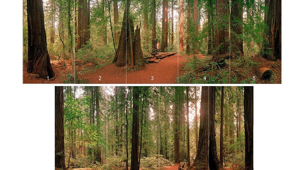 Panoramic - Redwoods