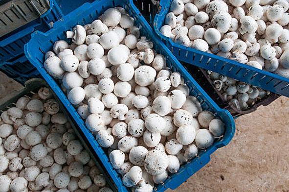 cogumelos champingnon de paris