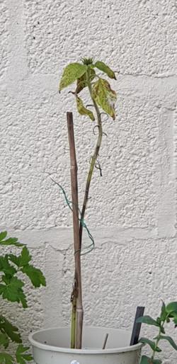 Lesley sunflower 2