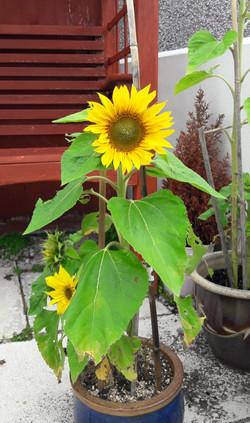 Jean sunflower 3