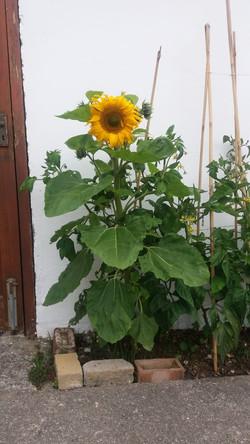 Trish sunflower