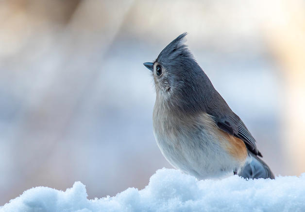 Handsome Tufted Titmouse