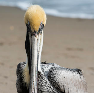 Pelican Staredown