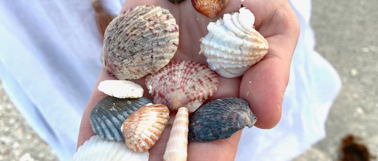 sarasota shells.jpeg