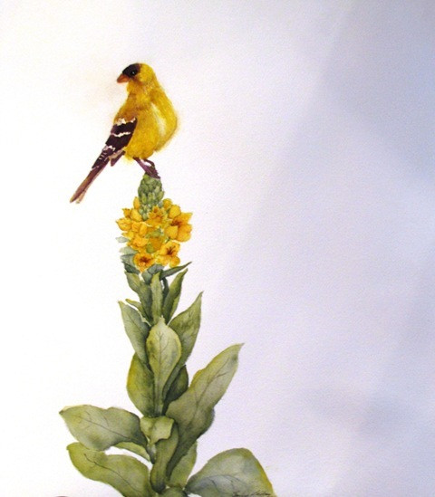 Goldfinch on Mulliun