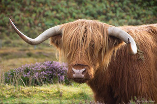 A Heilan Coo in Laide