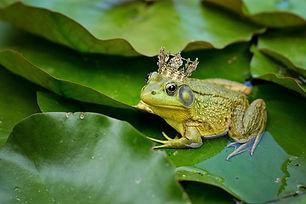 bull-frog-2525989_1920.jpg