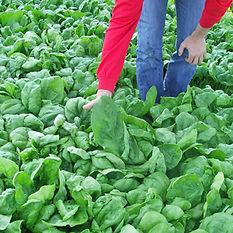 Gelagri légumes surgelés coopérative bretagne