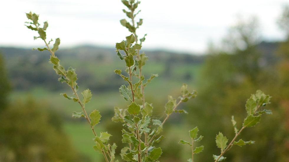 Mature truffle tree
