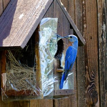 Eastern Blue Bird Nesting May/June 2020