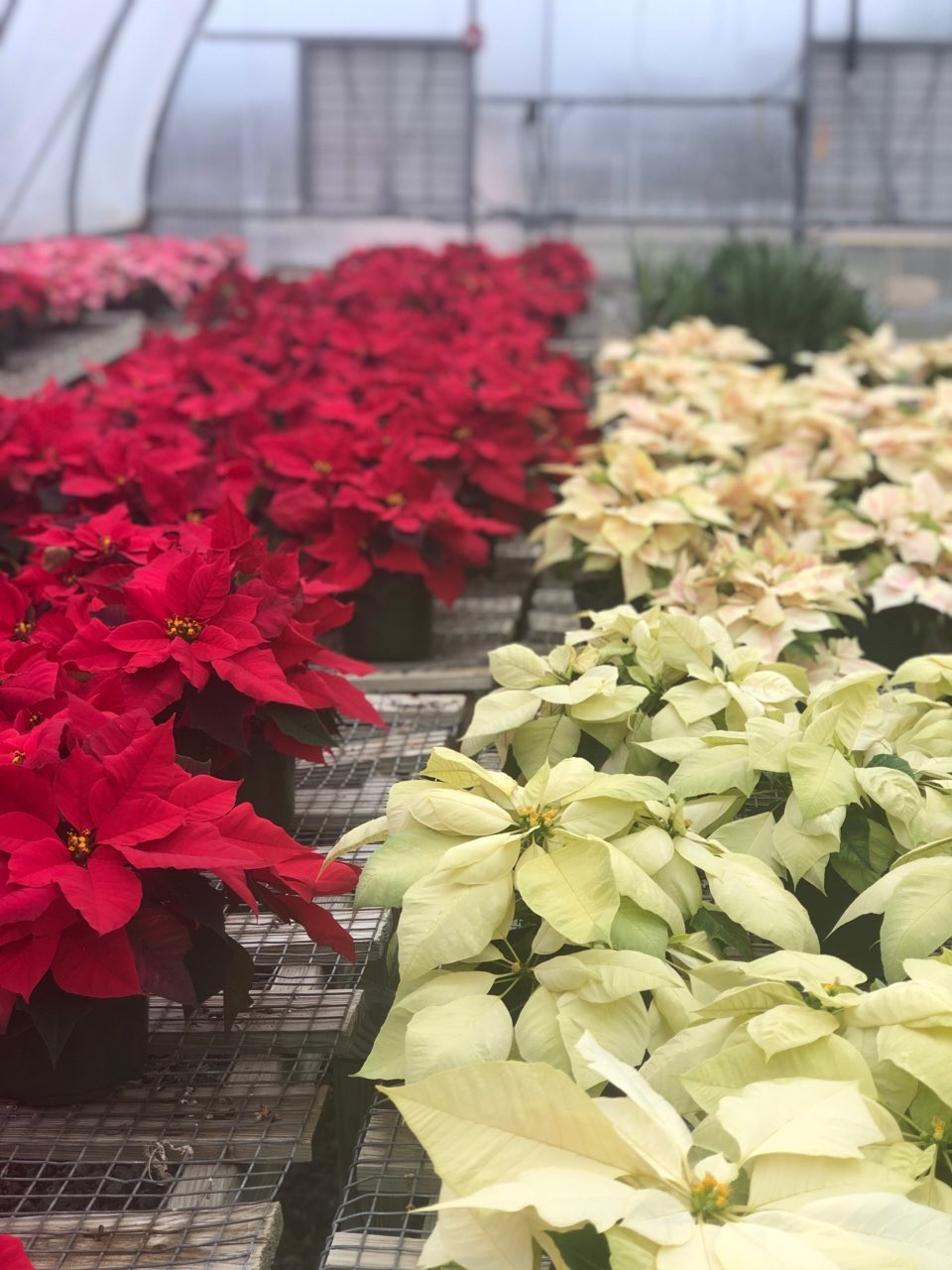 Red and gold poinsettias sold and grown by West High's agricultural classes.