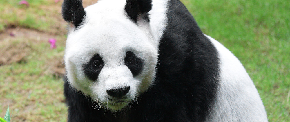 a panda bear because panda's are on the rise!