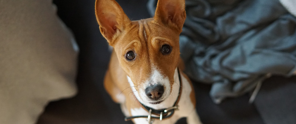 A dog giving puppy dog eyes
