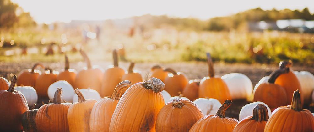 A bunch of pumpkins at the pumpkin patch for a fall anniversary idea