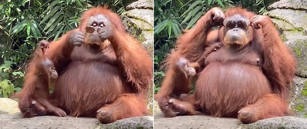 An orangutan trying on a pair of sunglasses
