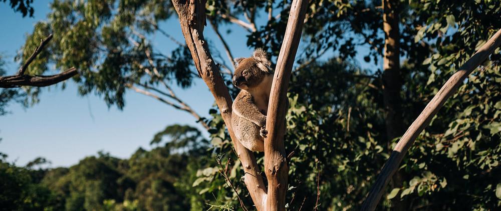 A kola bear sitting in a tree