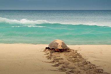 Turtle on Sal, Cap Verde