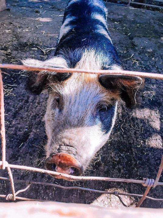 Pig (1 of 1).jpg