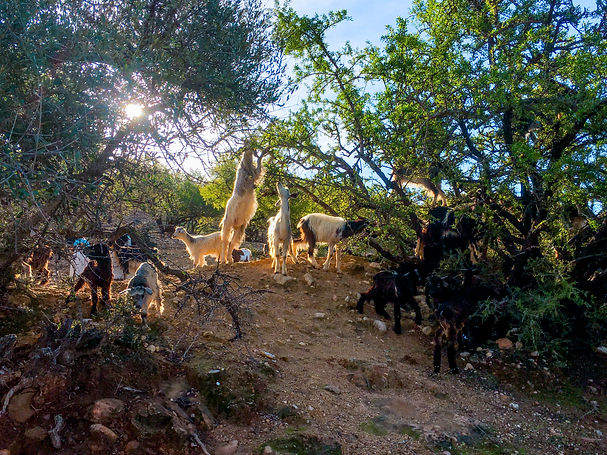 Goate (1 of 1).jpg