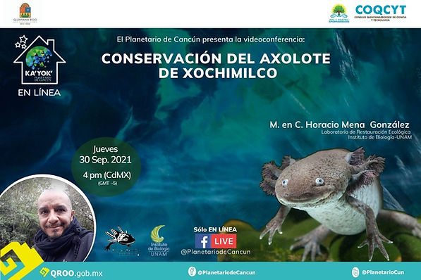 Axolote de Xochimilco  IBUNAM Horacio Mena 30Sep2021  (1).jpg