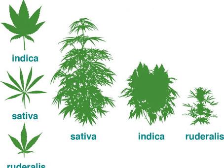 I diversi tipi di cannabis ed i loro effetti