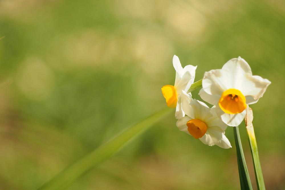 水仙のお花がさいていましたよ。寒いけど春はちゃんと近づいています。