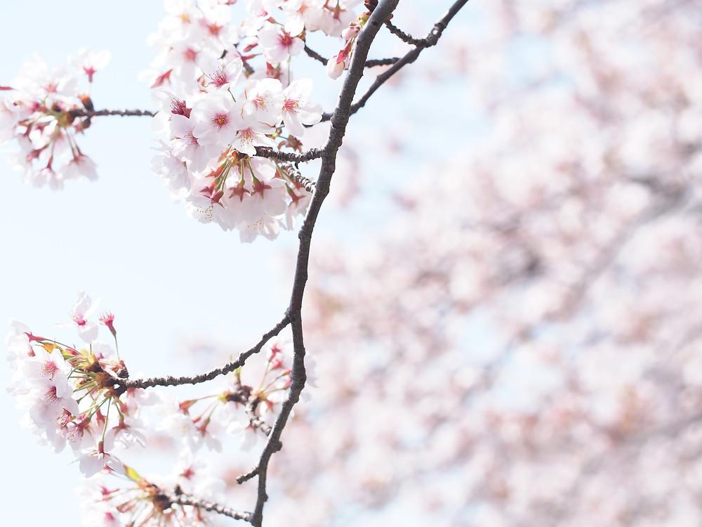 市民会館裏の桜 3月31日に撮影