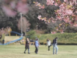 河津桜植樹から10年を振り返り・・・・