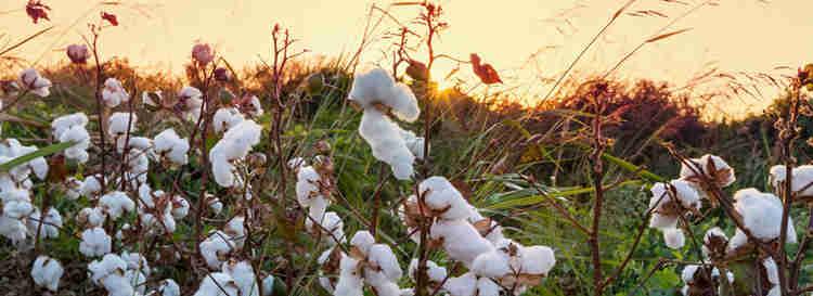 pés de algodão orgânico em uma plantação