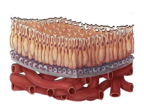 Module 1-Retinal Anatomy & Physiology  -5/20/20 --10:00 am EST