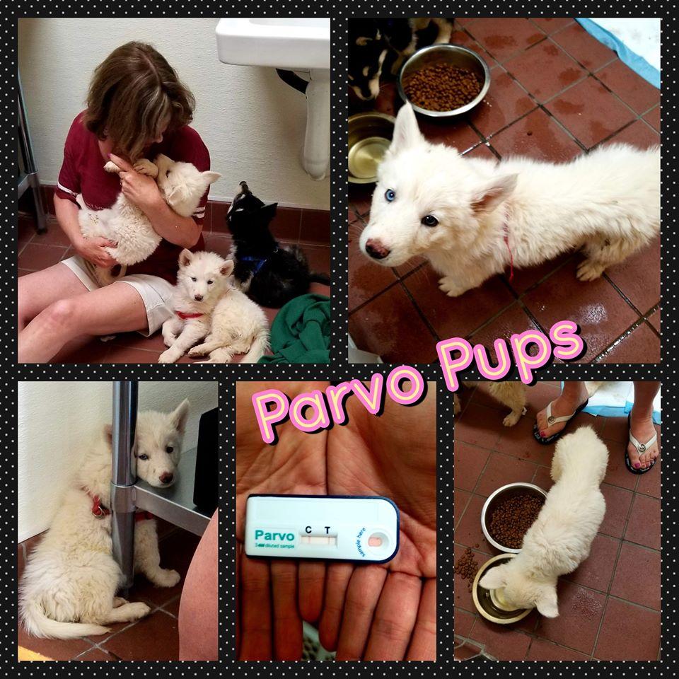 Parvo Huskies
