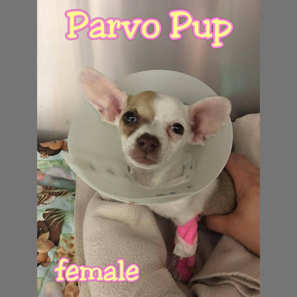 Parvo Pup
