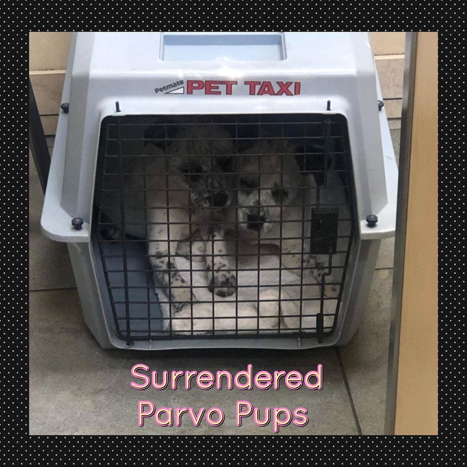 Surendered Parvo Pups