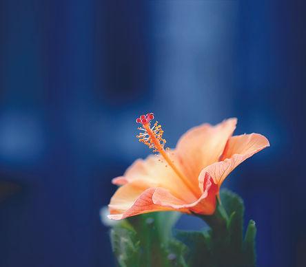 hibiscus-BD.jpg