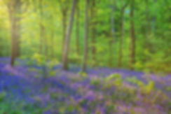 79385_HOLE_PARK_KENT_THE_BLUEBELL_WOOD_I
