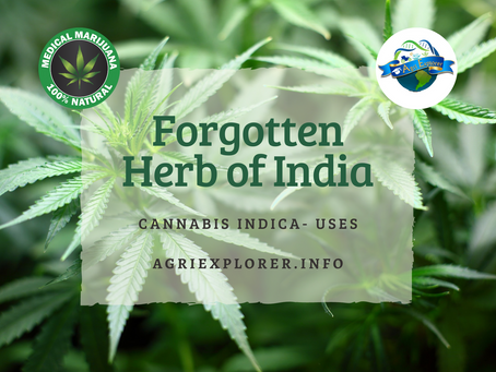 The Forgotten Herb of India: Cannabis