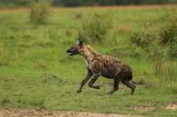 hyenes eau 1