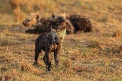Petit hyenes2