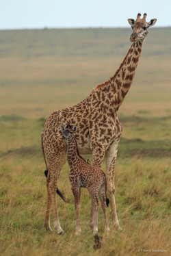Girafe et girafon 3