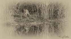 estempe renard