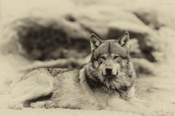 loups noir 5 estempe