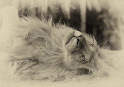 Lion blanc esquisse