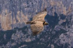 vautour 8 vol verdon