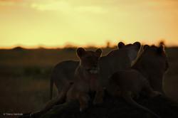 Famille_de_lion_couché_de_soleil